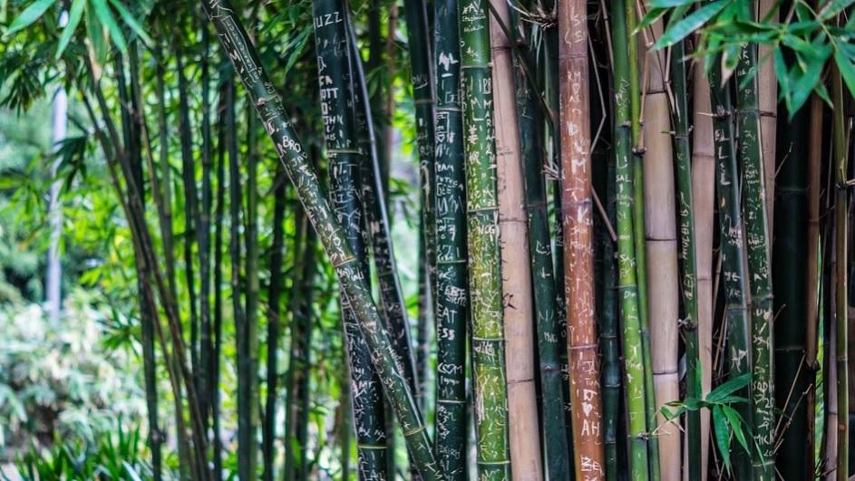 Lee más sobre el artículo ¿Sabías que el bambú puede llegar a crecer un metro al día?